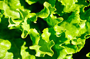 Salad Prints - Lettuce Print by Connie Cooper-Edwards