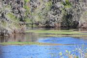 Florida Bridge Photo Metal Prints - Lettuce Lake with Bridge Metal Print by Carol Groenen