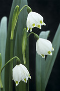 Monocotyledon Photos - Leucojum Vernum Flowers by Archie Young