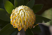 Sharon Mau Posters - Leucospermum  -   Yellow Pincushion Protea Poster by Sharon Mau