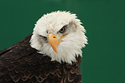 Shelley Myke Prints - Liberty- American Bald Eagle Print by Inspired Nature Photography By Shelley Myke