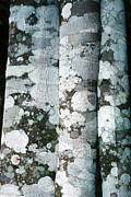 Mutualism Prints - Lichen On Cinnamon Trees Print by Georgette Douwma