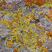 Lichen Posters - Lichens Poster by Heidi Smith