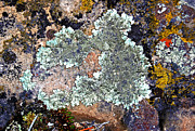 Randall Templeton Art - Lichens on a rock by Randall Templeton