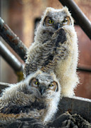 Great-horned Owls Framed Prints - Life After People Framed Print by Lori Deiter