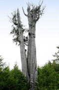 Bark Design Photos - Life at the Top - Duncan Cedar Olympic National Park WA by Christine Till