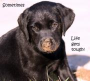 Black Lab Posters - Life Gets Tough Poster by Cathy  Beharriell