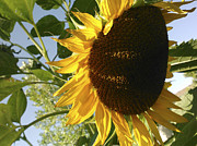 Large Sunflower Posters - Life is Good Poster by Jane Autry