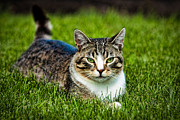 Tabby Cat Photos - Life of a Cat by Matt Dobson