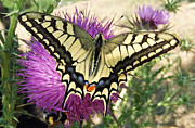 Insect Butterflies Of Lesvos Prints - Lifes Harmony  Print by Eric Kempson