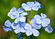 Blue Florals Framed Prints - Light Blue Plumbago Flowers Framed Print by Carol Groenen