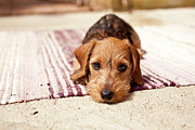 Dachshund Prints - Light Brown Dachshund Puppy Print by Håkan Dahlström
