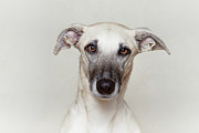 Focus On Foreground Art - Light Brown/fawn Dog Looking Right Into The Camera by Elke Vogelsang