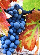 Grapes Photo Originals - Light Catcher by Shawn Hughes