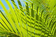 Afternoon Light Posters - Light Green Palm Leaves Poster by Mary Van de Ven - Printscapes