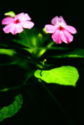Impatiens Posters - Light in Darkness Poster by Thomas R Fletcher