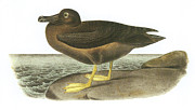 Albatross Paintings - Light-Mantled Sooty Albatross by John James Audubon