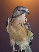 Morph Photo Prints - Light morph immature Swainsons Hawk Print by Ernie Echols