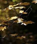 Yellow Leaf Photos - Light on Autumn Leaves by Jennie Marie Schell