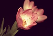 Layers - Light Pink Tulips by Cathie Tyler
