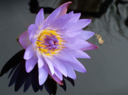 Graceful Lotus Prints - Light Purple Water Lily Print by Laurel Smith
