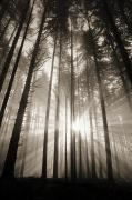 Art Medium Framed Prints - Light Through Forest Framed Print by Greg Vaughn - Printscapes