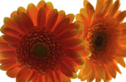 Gerbera Originals - Light through the Gerberas by Terence Davis