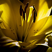 Anthers Prints - Lighted Lily Print by David Patterson
