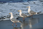 Sea Birds Prints - Lighthearted Seagulls Print by Debra  Miller