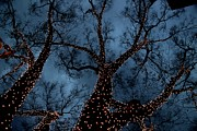 Christmas Tree Prints - Lightings On Zelkova Tree Print by I