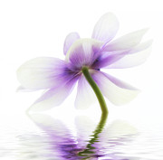 Purple Photos - Lightness by Kristin Kreet