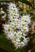 Blossom Originals - Ligustrum  by Michael Putnam