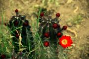 Cactus Flowers Posters - Like a little red star Poster by Susanne Van Hulst
