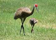 Cranes Prints - Like Father Print by Carol Groenen