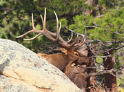Bull Elk Art - Like Father - Like Son by Shane Bechler