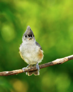 Tufted Titmouse Framed Prints - Liking My Style Framed Print by Betty LaRue