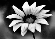 Cheryl Frischkorn - Lil Daisy BW