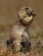 Prairie Dog Photos - Lil Nippy This Mornin by Robert Frederick