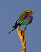 Bruce Colin - Lilac-breasted Roller