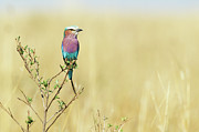 Full-length Photos - Lilac-breasted Roller (coracias Caudata) by Elliott Neep