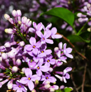 Spring Prints - Lilac Bush in Spring Print by Michelle Calkins