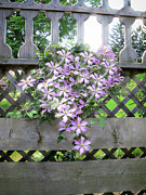 Summer Flower Vine Framed Prints - Lilac Clematis Flower Vine Basking in Sun Rays on a Wood Garden Arbour Framed Print by Chantal PhotoPix