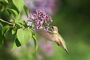 Ruby-throated Hummingbird Posters - Lilac Hummingbird Poster by Renee Dawson