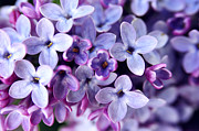Morning Flower Prints - Lilac Petals Print by The Forests Edge Photography - Diane Sandoval