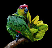 Parrot Art - Lilacine Amazon Parrot Isolated On Black Backgro by Photo by Steve Wilson
