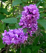 Aliesha Fisher - Lilacs