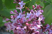 Barbara Yearty - Lilacs in Bloom 1