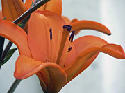 Liliaceae Orange  Print by Pamela Patch