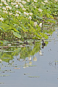 Baby Mallards Photo Originals - Lilies and Ducks by Ruth H Curtis