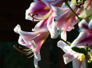 Lilies Posters - Lilies art prints Pink White Summer Lily Flower Baslee Troutman Poster by Baslee Troutman Fine Art Photography